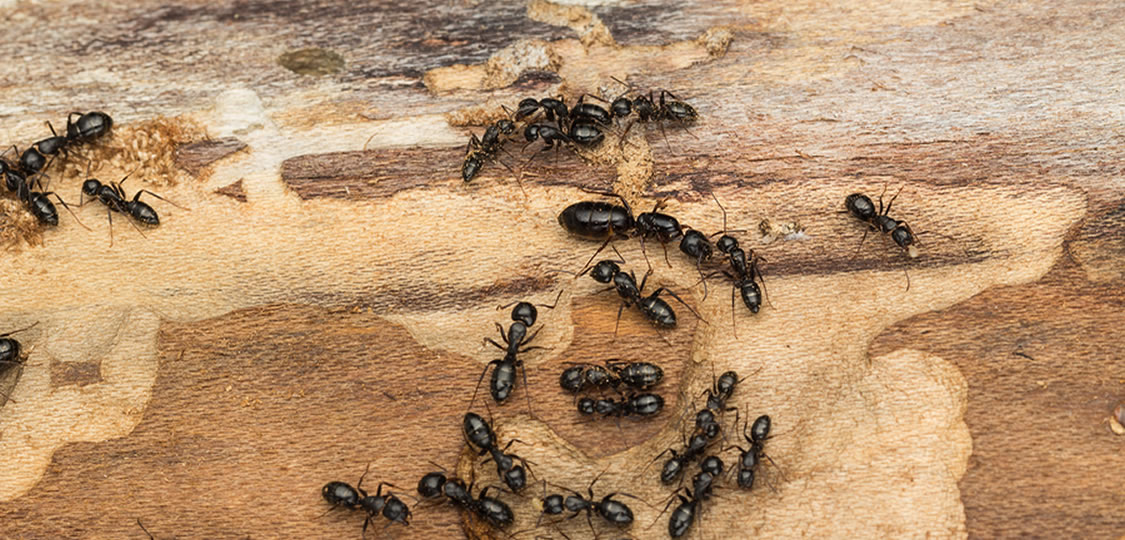 Picture of ants destroying a home