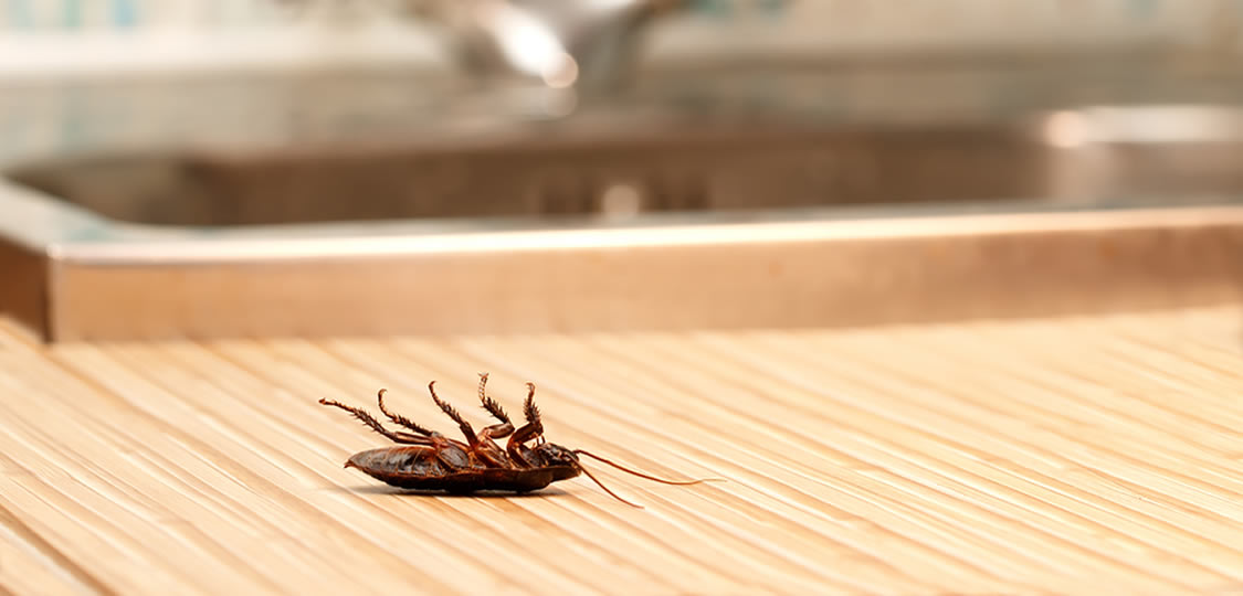 Picture of dead roach