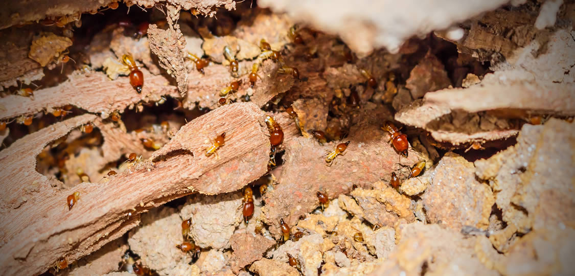 termites eating on wood