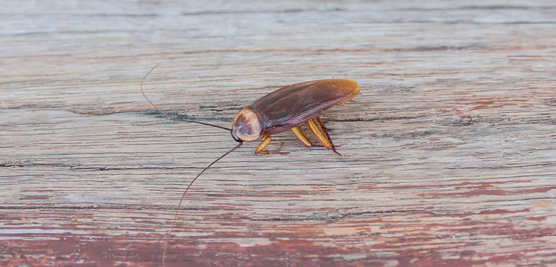 cockroach on wood