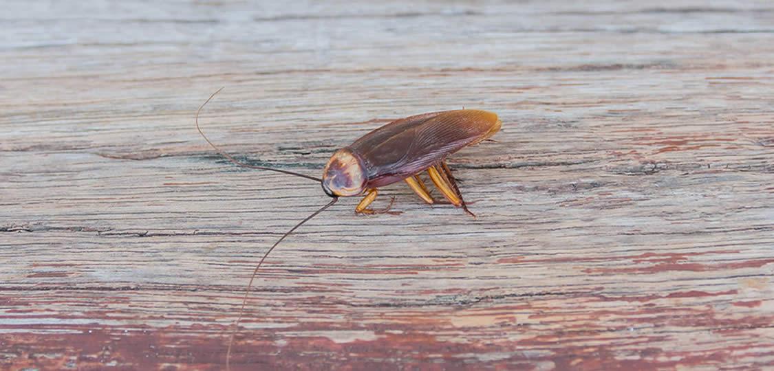 cockroach on wood